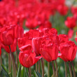 Red tulips — Stock Photo #3084935