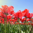 Red tulips in garden — Stock Photo #3454595