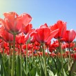 Red tulips in garden — Stock Photo
