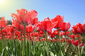 Czerwone tulipany w ogrodzie — Zdjęcie stockowe