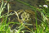 Big green frog — Stock Photo