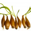 Germinate onion — Stock Photo #2855905