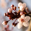 Asian plum blossom macro - Stock Photo