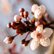 Stock Photo: Asiplum blossom macro