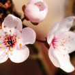 Stock Photo: Asian plum blossom macro