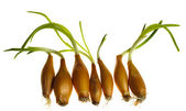 Germinate onion — Stock Photo