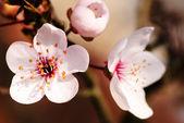 Asian plum blossom macro — Stock Photo