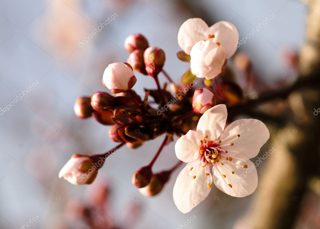 Asian plum blossom macro. Shallow deep of field. Focus on stamens  Stock Photo #2856134