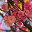 Sakura blooming — Stockfoto