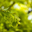 Stock Photo: Green leafs background