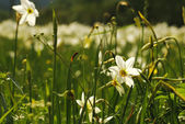 Narcissus Valley — Stock Photo