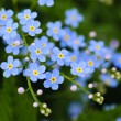 Stock Photo: Meadow blue flowers