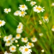 Wild camomile — Stock Photo #3319694