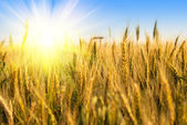 Wheat field with sunlight — Stock Photo