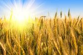 Wheat field with sunlight — Stock Photo