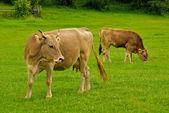 Cow and calf graze — Stock Photo