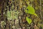 Textura da casca árvore — Fotografia Stock