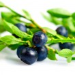 Twig of bilberry — Stock Photo