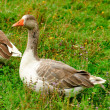Gooses on grass — Stock Photo