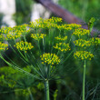 Picture of green dill, Anethum graveolens — Stock Photo