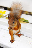 Brown squirrel — Stock Photo