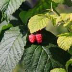 The raspberries — Stock Photo