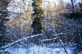 Vackert vinterlandskap skog — Stockfoto