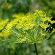 Closeup of dill — Stock Photo