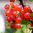 Red currant on the branch - Stock Photo
