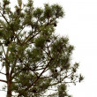 Young pine tree branch — Stock Photo #3558886