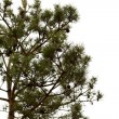 Stock Photo: Young pine tree branch