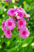цветущий флокс метельчатый, синюховые — Стоковое фото