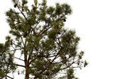 Young pine tree branch — Stock Photo