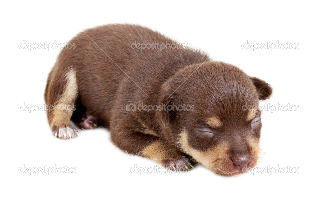 Chihuahua puppy in studio — Stock Photo #3727063