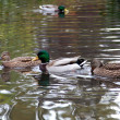 Ducks — Stock Photo #2807348