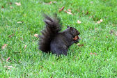 The black squirrel eating chestnut — Stock Photo