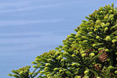 Pine-tree with cones — Stock Photo