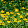 Dandelion flowers field — Stock Photo