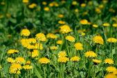 Dandelion flowers field — Stock Photo
