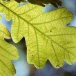 Oak leaf — Foto de Stock