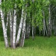 Birch trees in summer forest — Stock Photo #2800590