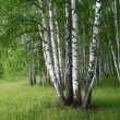 Birch trees - Stock Photo