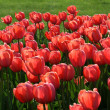 Beautiful tulips — Stock Photo #2852692