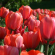 Closeup of beautiful tulips — Stock Photo