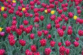 Beautiful tulips background — Stock Photo