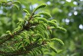 Pelz-baum-branche — Stockfoto