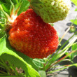 Branch of fresh strawberries — Stock Photo