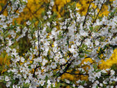 Rama con flores blancas — Foto de Stock
