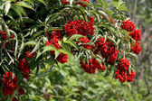 Bush with red berries — Stock Photo