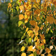 Beautiful autumn leaves of birch tree — Stock Photo